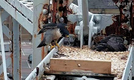 Watch: Peregrines nest 120ft up on Huddersfield's gas holder