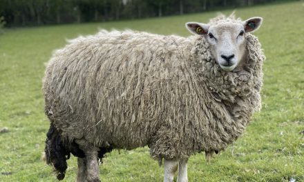 TV's The Yorkshire Vet could make Star the UK's first bionic sheep